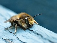 Bee in Blues