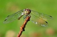 Noch nie eine Libelle beim Trocknen gesehen?
