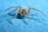Blaue Spinne
