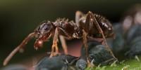 Big_Ant