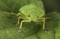 Kleine, grüne Wanz
