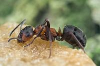 sweet Ant