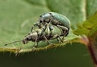 Käfermasutra Position 1 (von 1)