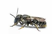 kleine nasse Biene