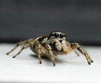 little Spider 2
