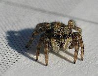 little Spider 3