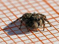 little Spider 1